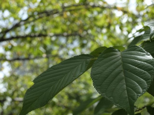 X100Fで撮影した公園の葉っぱ
